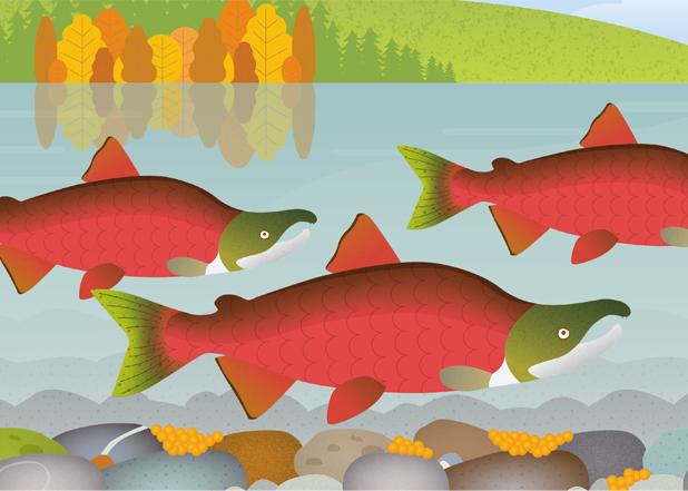 Spawning sockeye salmon illustration. Jane Pellicciotto/Allegro Design